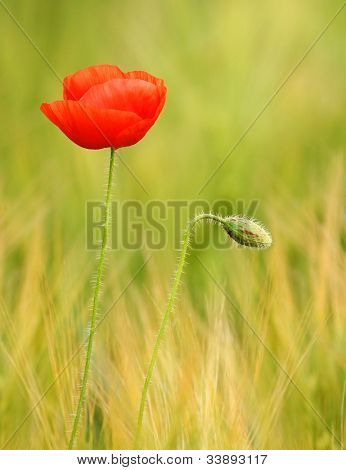 Red poppy (Papaver rhoeas) with out of focus corn field in background. The petals from off ancient past use in the treatment lung diseases, and as a sedative.