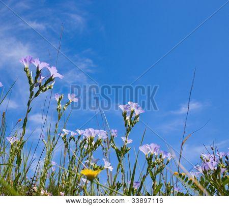 Blue sky and blue flax field