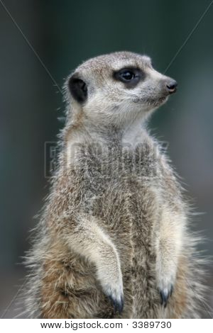 Cute Suricate Portrait