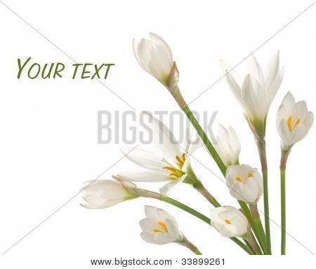 ramo de azucenas blancas sobre un fondo blanco. Zephyranthes candida