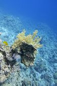 Colorful Coral Reef At The Bottom Of Tropical Sea, Yellow Broccoli Coral On A Background Of Blue Wat poster