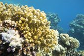Colorful Coral Reef At The Bottom Of Tropical Sea, Yellow Cauliflower Coral, Underwater Landscape poster