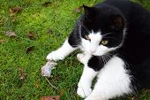 The cat caught the mouse in the outdoor. Focusing on the mouse. Selective focus. Killed mouse. Cat p poster