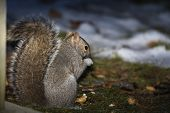 Eastern Gray Squirrel  Near The Feeder With Nuts, Known As The Grey Squirrel. Night Scene From Back  poster