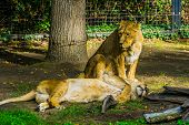 Female Asiatic Lion Couple Together, Wild Tropical Cats, Endangered Animal Specie From Asia poster