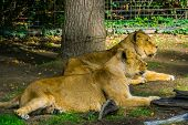 Female Asiatic Lion Couple Laying Together On The Ground, Wild Tropical Cats poster