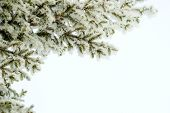 Fir Tree Spruce Branch In Winter Holiday Snow Isolated On White Background. Spruce Or Pine Tree In S poster