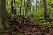Twisted Exposed Gnarled Aerial Roots Of Pine Trees Growing On A Slope Of A Hill In Lynn Canyon Park  poster