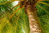 Closeup Coconut Palm Tree On A Sunny Summer Day Against The Blue Sky, The Fantastic Island Of Maldiv poster