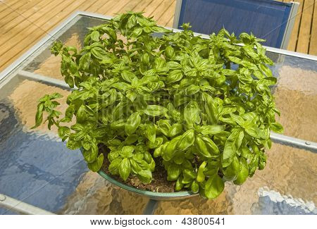 Big Bowl Of Basil On A Glass Table