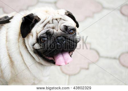 Lustige Closeup eines niedlichen Mops-Porträts