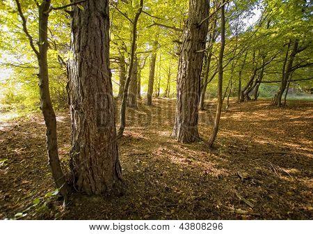 Pinos en un bosque en otoño con la luz del sol
