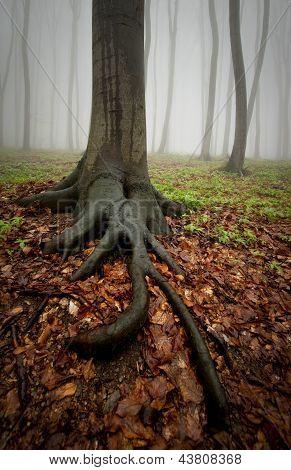 Baum mit großen Wurzeln in einer Gesamtstruktur mit Nebel nach Regen