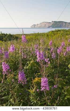 Gaspe Wildflowers