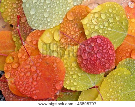 Colorful aspen leaves with raindrops