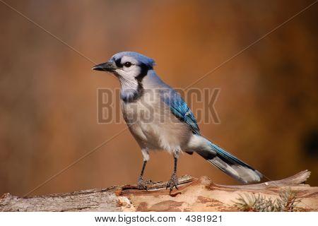 Pretty Blue Jay