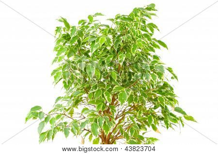 Ficus tree isolated on white background