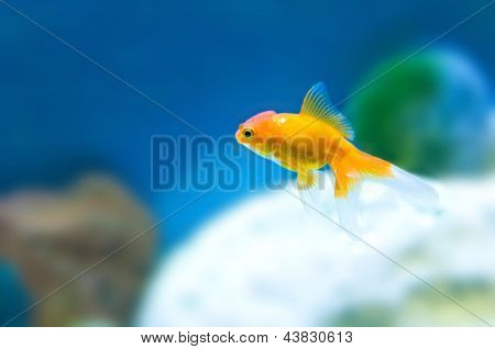 Tropical goldfish in aquarium