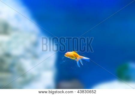 Tropical goldfish in aquarium