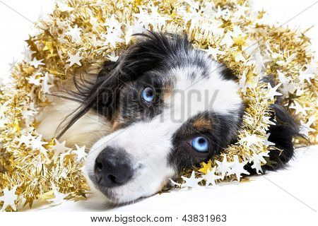 Miniature australian shepherd celebrating Christmas and wrapped in a Christmas garland on a white background.
