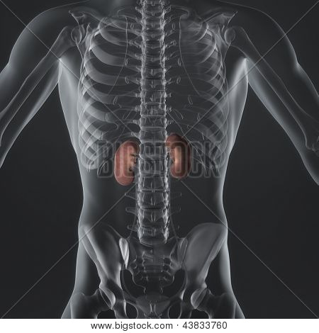An Illustration of a man's anatomy showing the adrenal glands in an x-ray style.