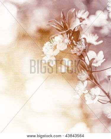 White cherry flowers on sunny day, floral branch of blooming tree in the garden, springtime nature, abstract natural background with soft focus