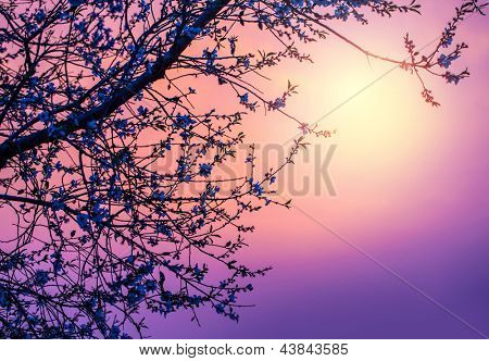 Cherry tree flower blossom over purple sunset, abstract natural background, pink sunrise over branch of blooming fruit tree, natural border, spring season