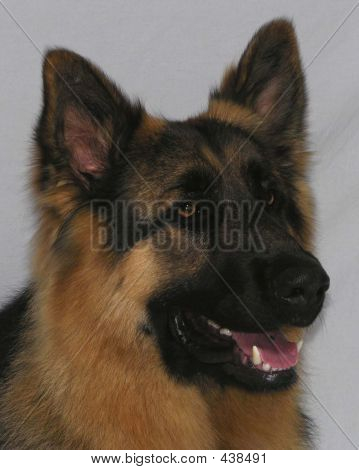 German Shepherd Headshot