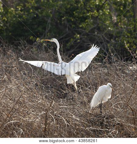 snowy egrets in breeding plumage