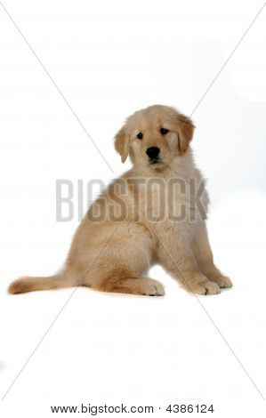 Cute Golden Retreiver Puppy Sitting Patiently On White Background