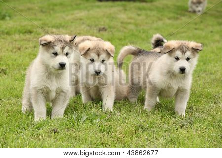 Group Of Alaskan Malamute Puppies