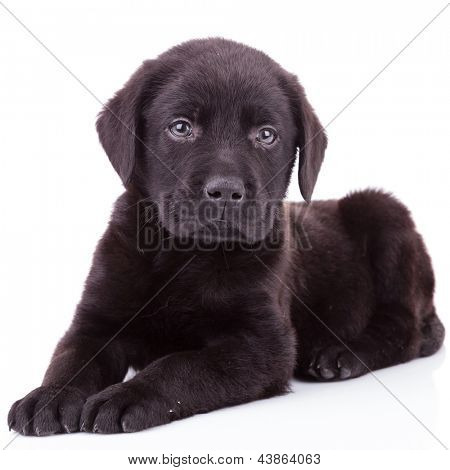 black labrador retriever puppy dog lying down and looking at the camera