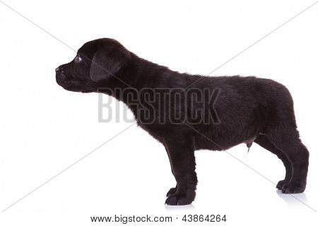 side view of a cute black labrador retriever puppy dog sniffing something on white background