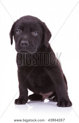 sad little labrador retriever puppy dog looking at the camera while sitting down