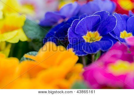 Flores de jardim, colorido primula Primavera