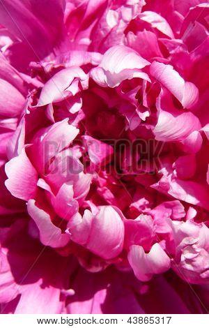pink pione