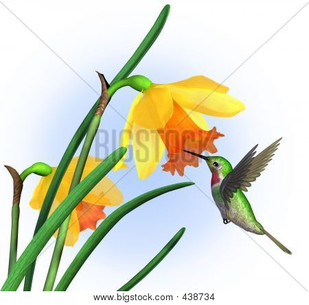 Hummingbird With Daffodils