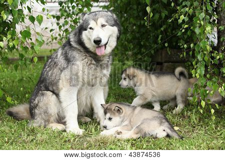 Alaskan Malamute Bitch Under The Twigs Of Birch