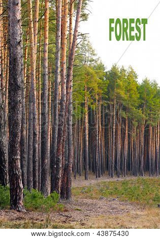 Floresta de pinheiro silvestre (Pinus sylvestris), com fundo branco. Conceito de energia renovável. Imagine com p