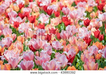 Close up view of the large number of colorful tulips