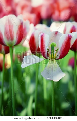 Close up color tulips in Netherlands