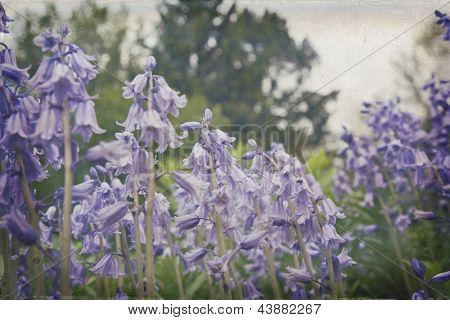 Soft bluebells enhanced with a vintage texture
