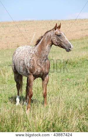 Portrait Of Nice Appaloosa Mare