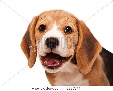Beagle Puppy Portrait 2