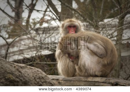 Two Japanese Macaque Grooming
