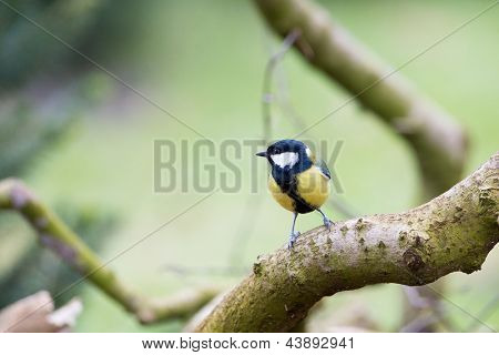 Great tit on tree trunk