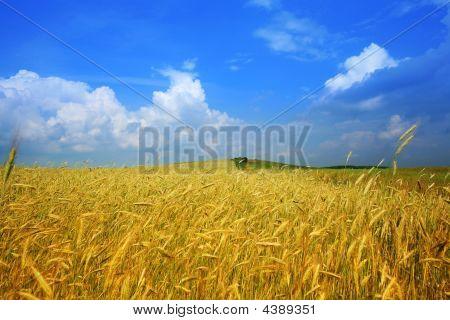 Gelbe Bereich der Weizen