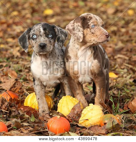Louisiana Catahoula Puppies With Pumpkins In Autumn