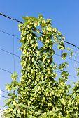 picture of hop-plant  - hops in hops garden - JPG
