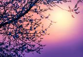 stock photo of bud  - Cherry tree flower blossom over purple sunset - JPG